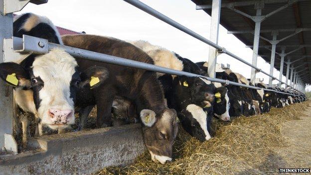 Cows on a dairy farm