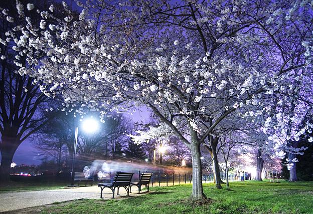 'Cherry Blossom Cyclist' by Amanda Kleinman