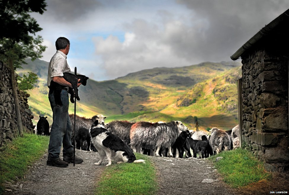 Shepherd with Herdwick sheep