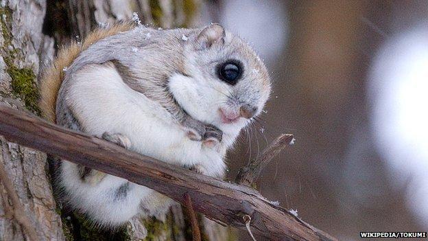 A Siberian flying squirrel
