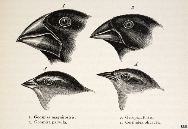 Evolution of Darwin's finches and their beaks -- ScienceDaily