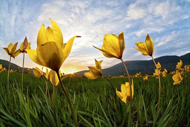 'Tulipa silvestris' by Leonardo Battista