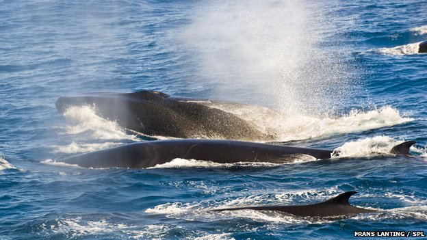 fin whales exhaling
