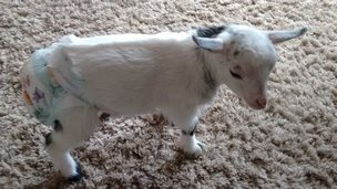 Lily the goat wearing a nappy