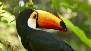 Toco toucan (Anna Kwa)
