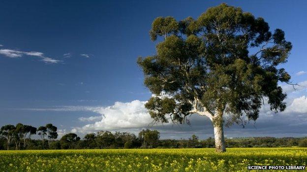 Field of Rape or Canola (Brassica napus) in flower and Eucalyptus tree, near York, western Australia.