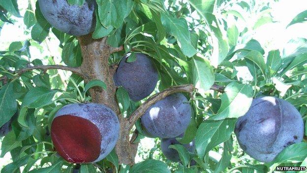 Queen Garnet plums  growing in the wild