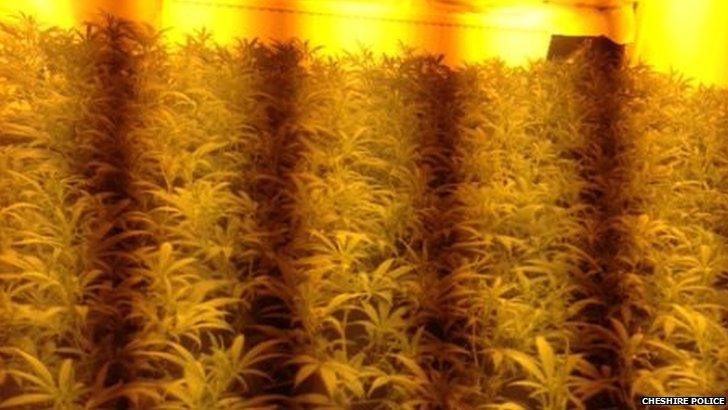 Cannabis factory in Warrington