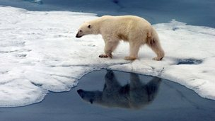 A polar bear in the Arctic