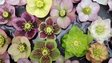 Hellebore flowers
