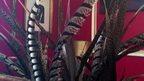 Display of pheasant feathers in office of US Republican Congressman Aaron Schock