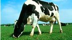 The cows in China were the Holstein-Friesian breed