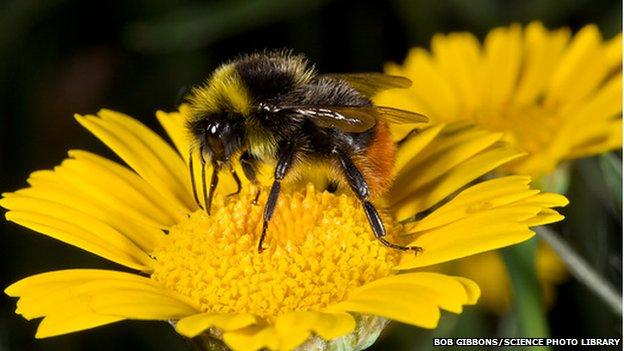 New Britain Bees Food