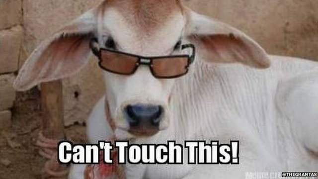 A cow wearing sunglasses overlaid with the phrase 'Can't touch this'