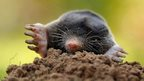 A mole emerging from a mole hill