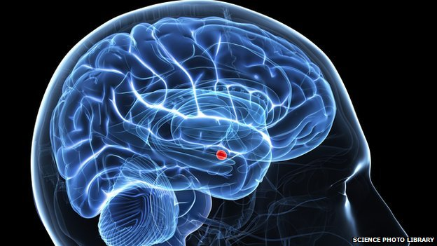 amygdala (red) in brain