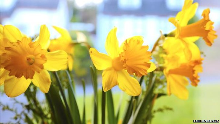 Daffodils in Dromore