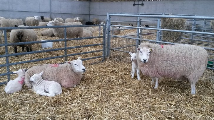 Lambs at Broomfield Hall College