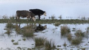 Cattle try to graze amidst the floodwater of the River Parrett near Langport