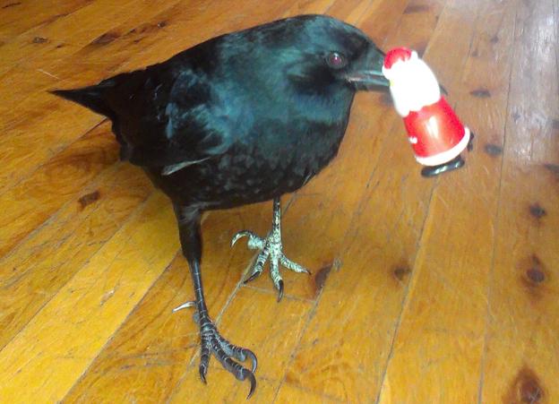 Lynn's crow Sheryl plays with a small Santa Claus figurine