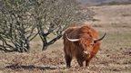 Highland cattle on Fairwood Common, Gower, as seen by Wayne Jones