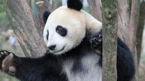 Panda bite - photo#13