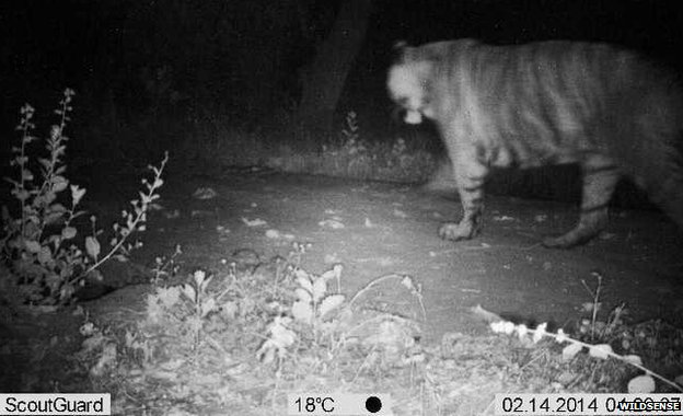 tiger at night