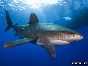 Oceanic whitetip shark (Image courtesy of The Pew Trusts)