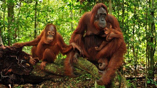 Orangutans (c) SPL