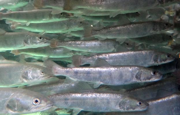 Danube salmon