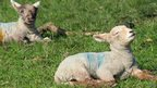 Lambs soaking up some of the sunshine, as seen by Hannah Legg