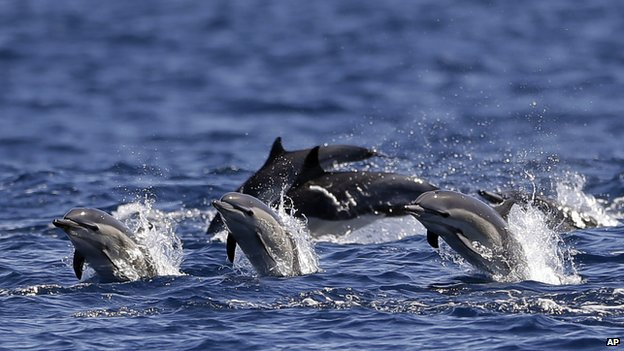 Dolphins race alongside the yacht America during a whale watching trip off the coast of San Diego