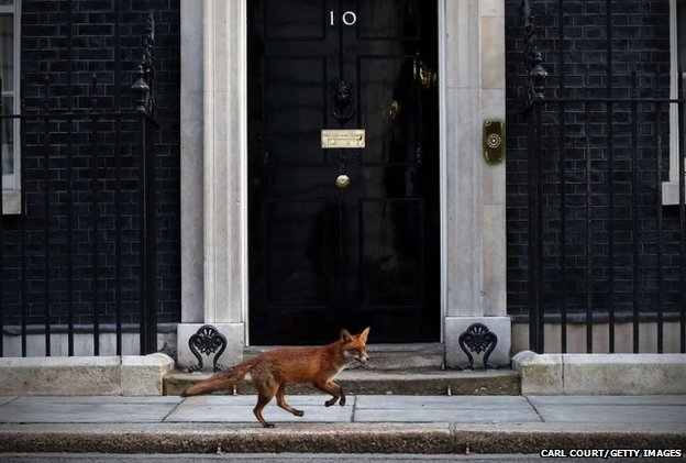 A fox runs in front of 10 Downing Street
