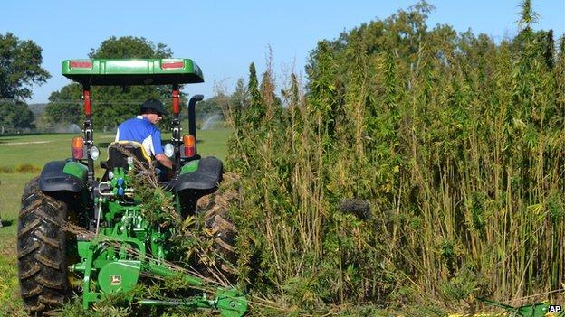 A tractor cutting hemp