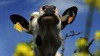 Milk cow in Spain