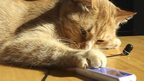 Cat operating an mp3 player