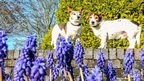 A bright day. Two small dogs stand on a wall. In the foreground, purple hyacinth flowers can be seen. The sky is blue and clear except for a few wispy clouds. There are a few trees and a vibrant green bush in the background
