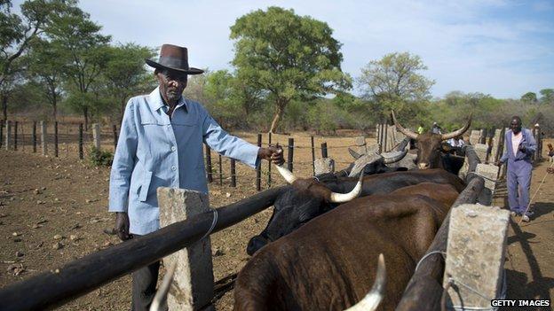 Cattle farmer in Zimbabwe