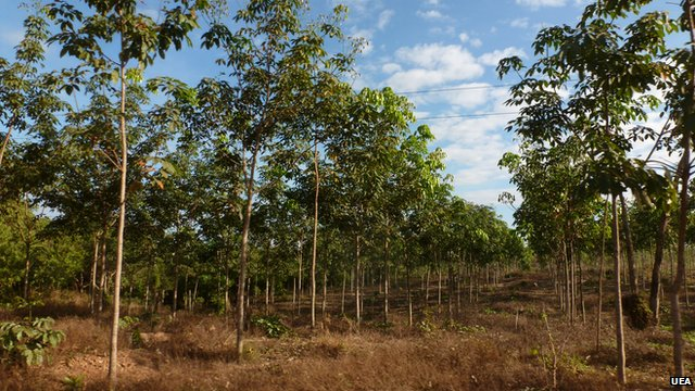 Demand for rubber 'threatens forests'