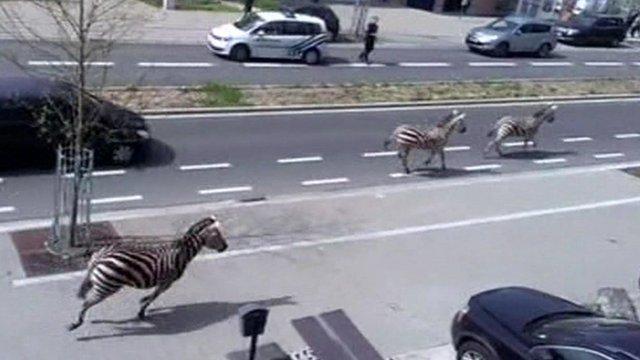 VIDEO: Zebras crossing Brussels roads...