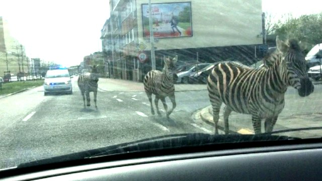 This gives a whole new meaning to ZEBRA crossing in Brussels, Belgium