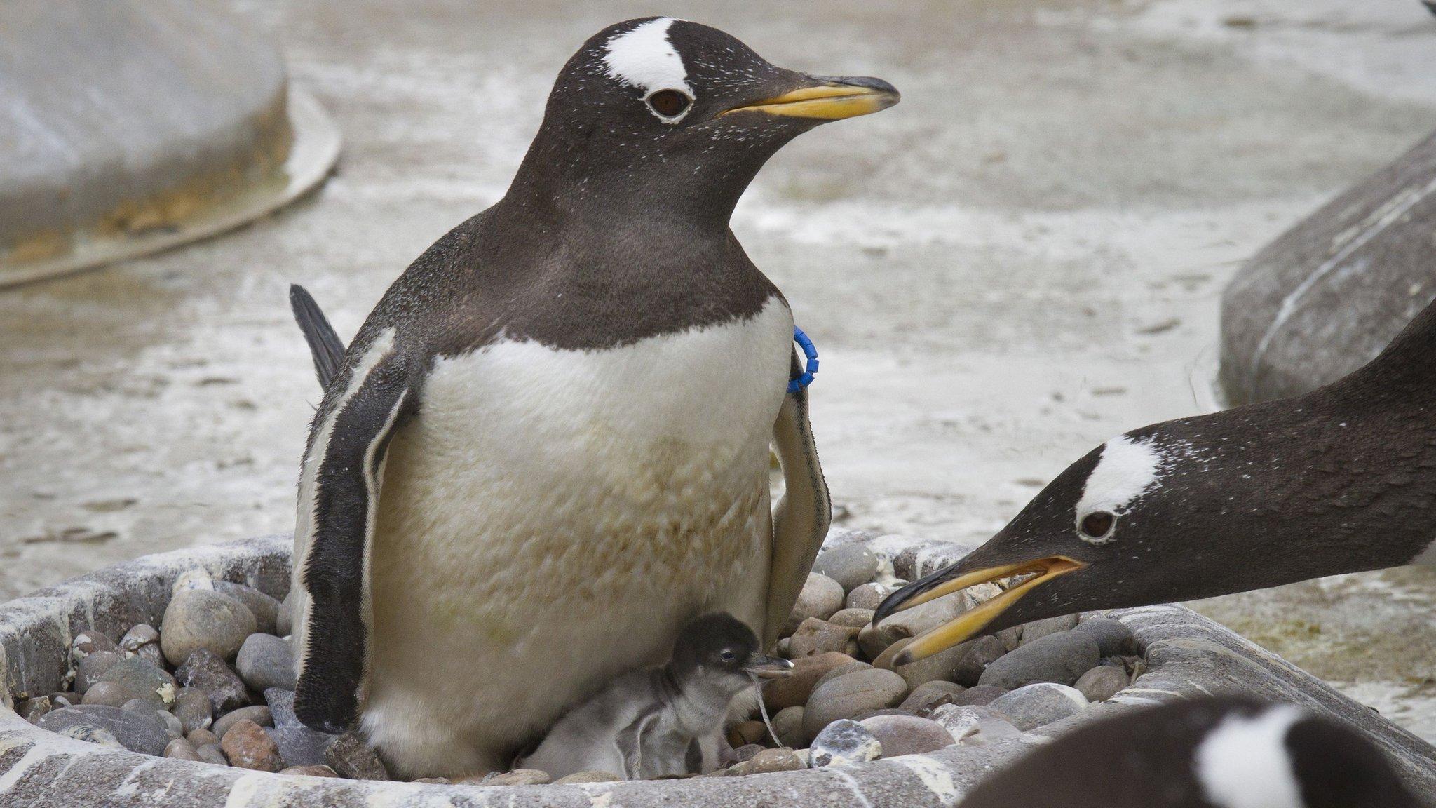 Baby gentoo penguins born at zoo - CBBC Newsround