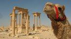 Camel at Palmyra