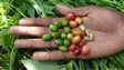 red and green coffee cherries