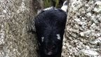 Lamb rescued from boulder crevice