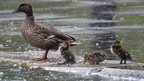 A female duck and her three chicks stand on a stone in a lake. It is raining