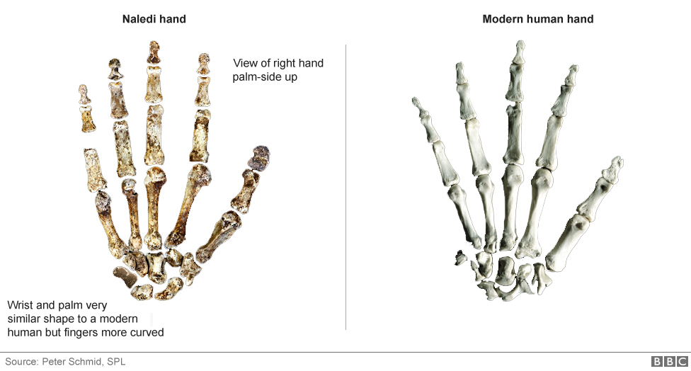 new human-like species discovered in s africa - bbc news, Skeleton