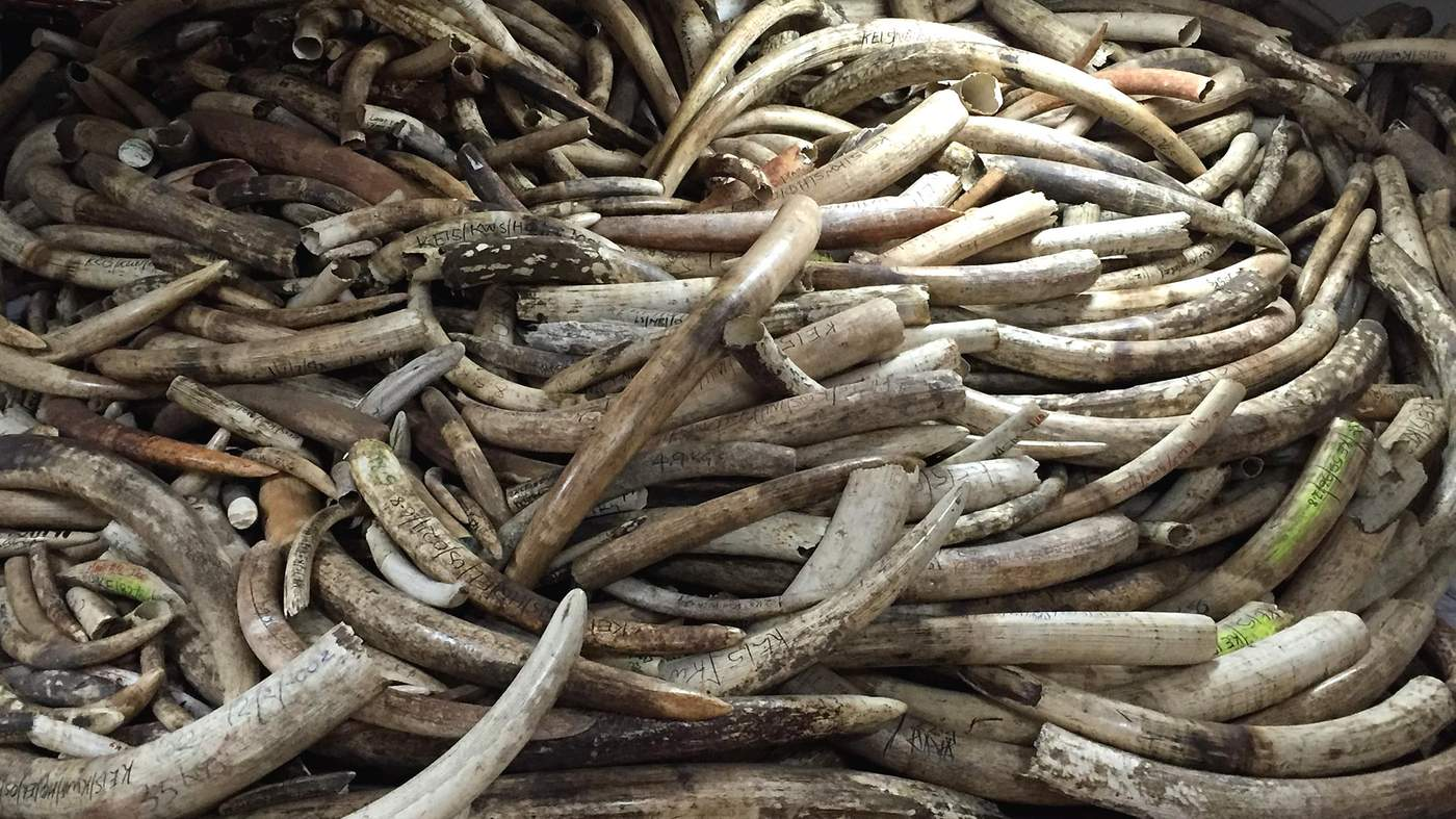 the war on elephants bbc news in a basement strong room at the wildlife service kws headquarters in nairobi the mountains of tusks reaching from the floor to the ceiling attest