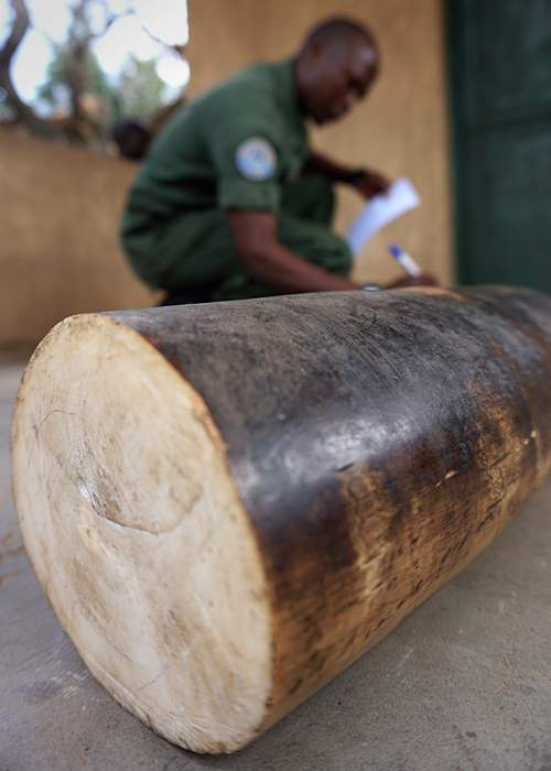 Seized ivory in DR Congo