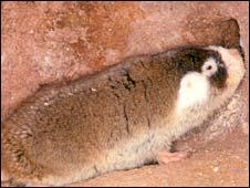 Cape mole rat (Chris Faulkes)